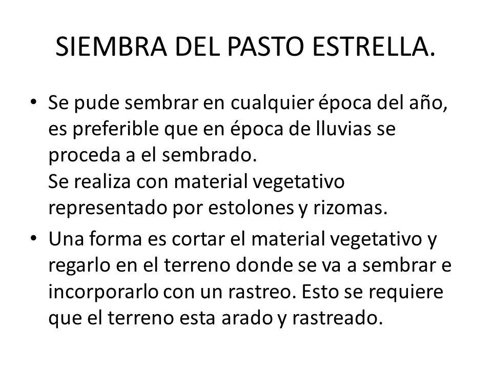 SIEMBRA DEL PASTO ESTRELLA.