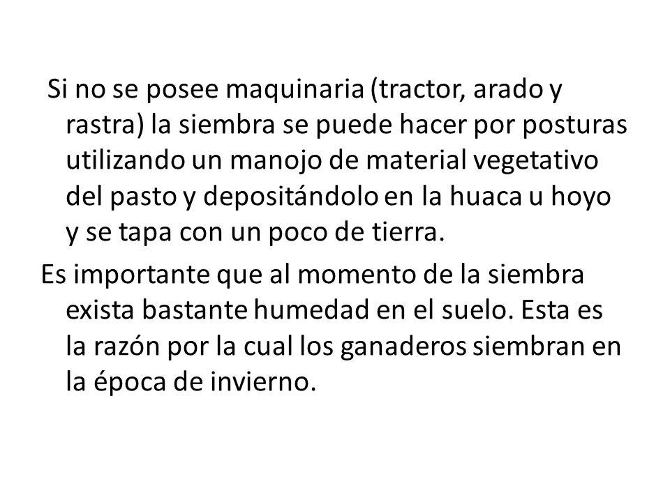 Si no se posee maquinaria (tractor, arado y rastra) la siembra se puede hacer por posturas utilizando un manojo de material vegetativo del pasto y depositándolo en la huaca u hoyo y se tapa con un poco de tierra.