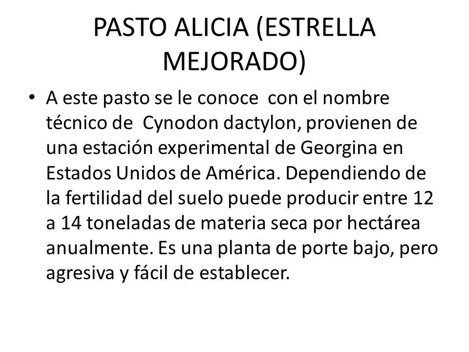 PASTO ALICIA (ESTRELLA MEJORADO)