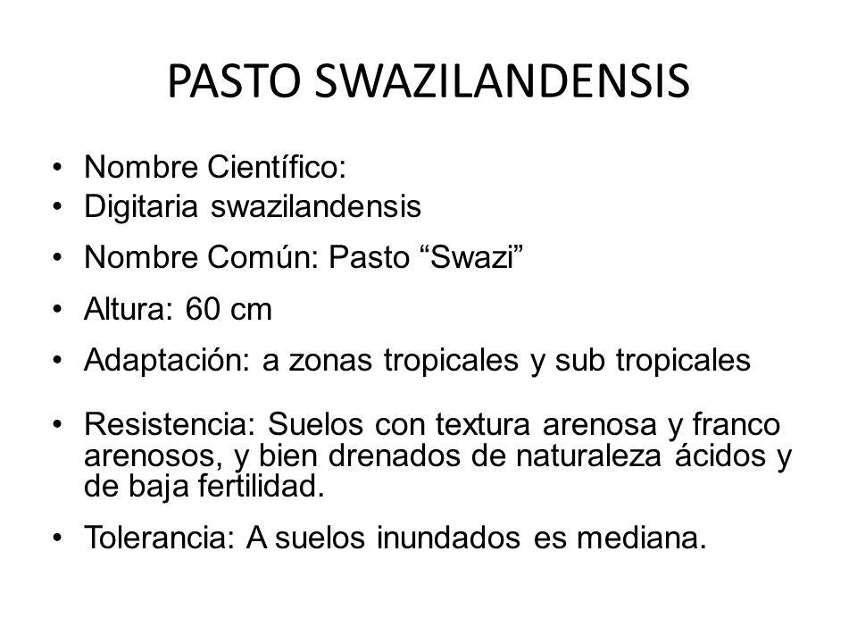 PASTO SWAZILANDENSIS Nombre Científico: Digitaria swazilandensis