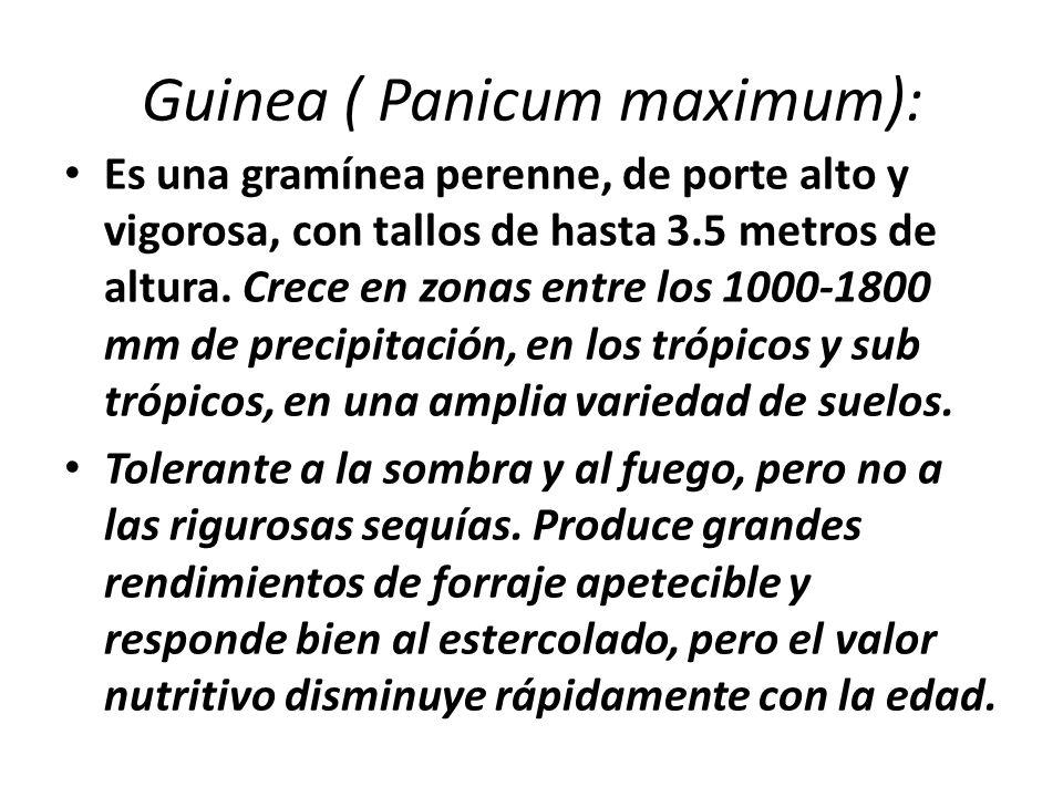Guinea ( Panicum maximum):