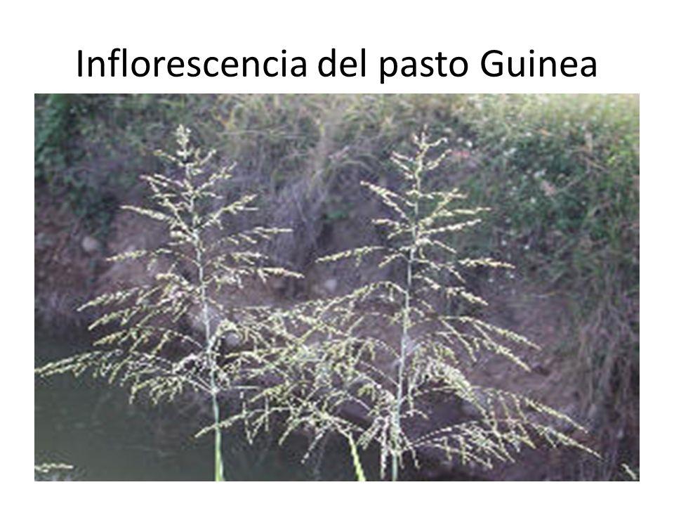 Inflorescencia del pasto Guinea