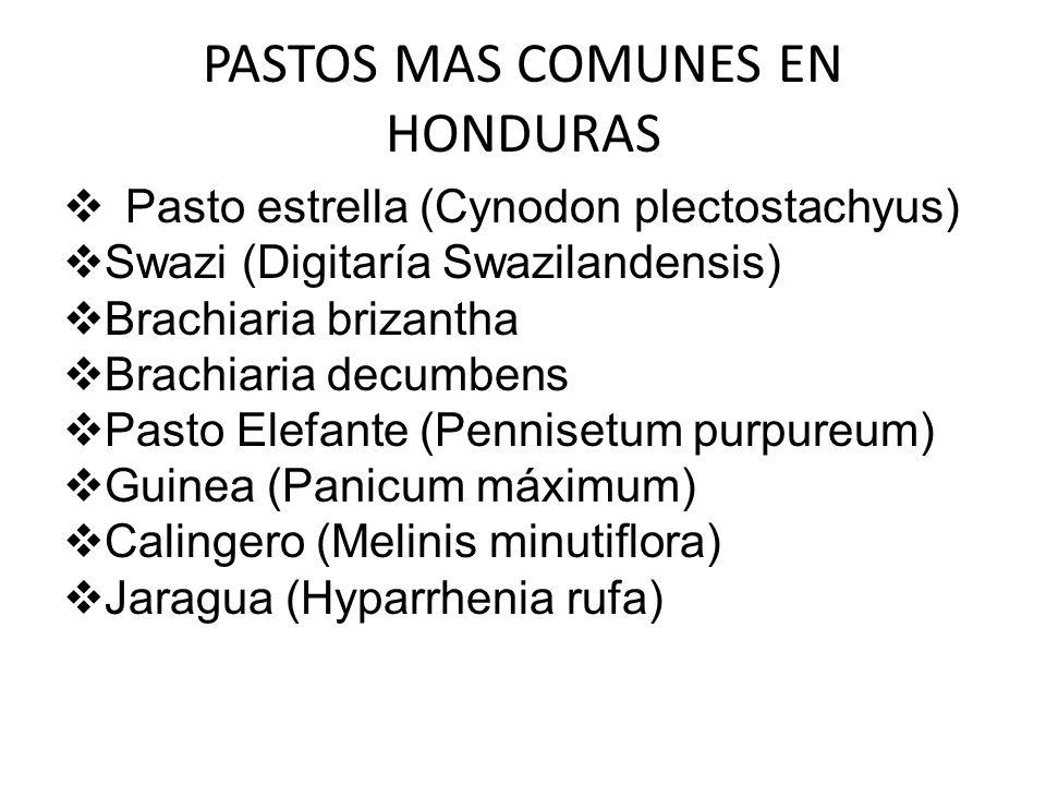 PASTOS MAS COMUNES EN HONDURAS