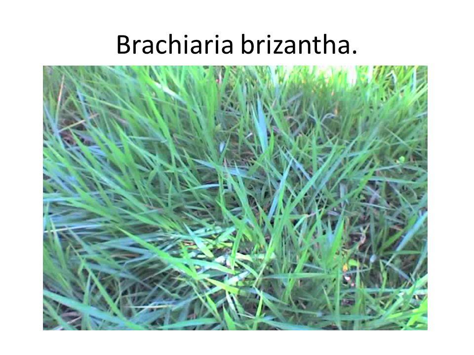 Brachiaria brizantha.