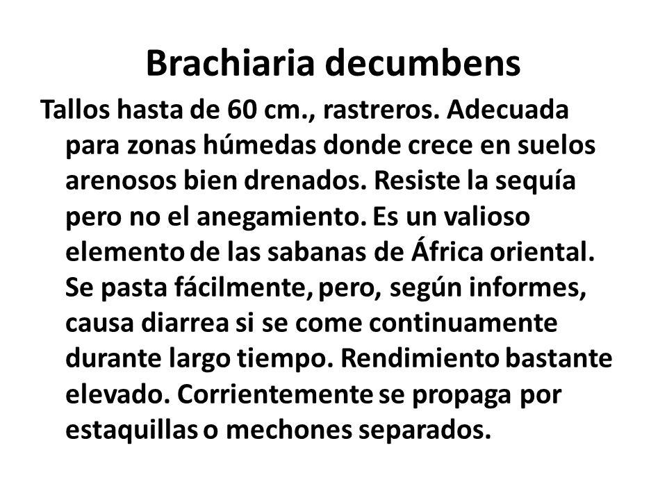Brachiaria decumbens