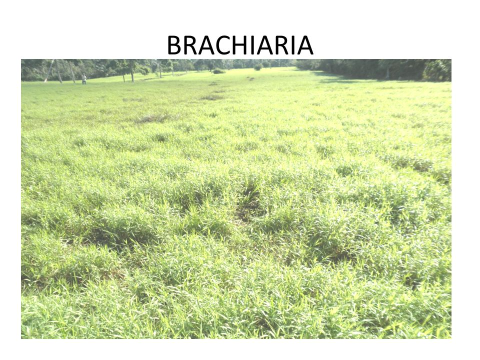 BRACHIARIA