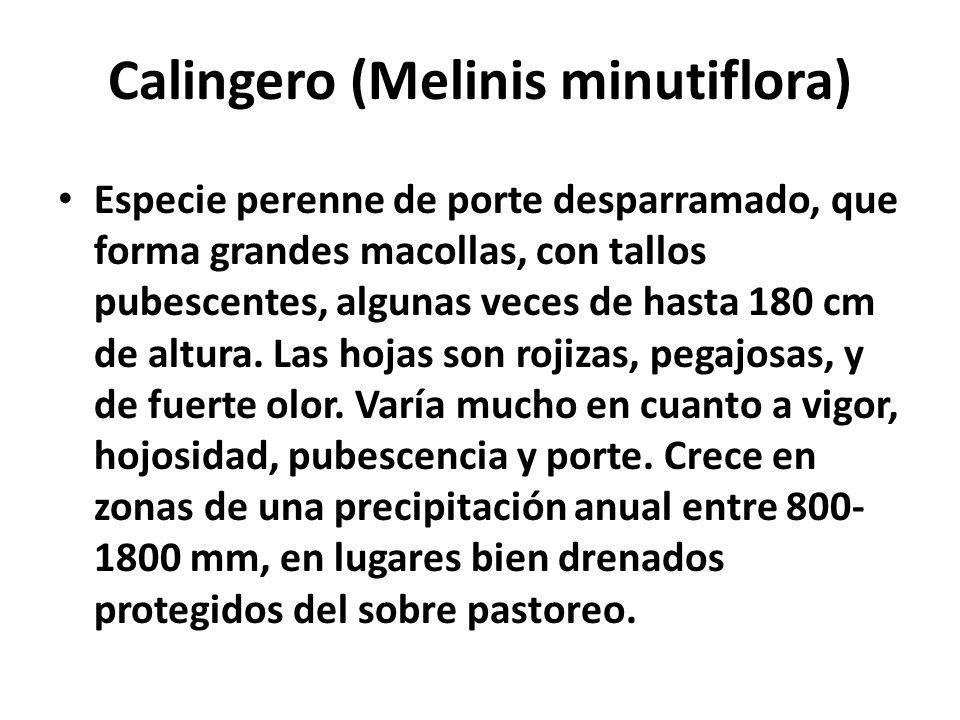 Calingero (Melinis minutiflora)