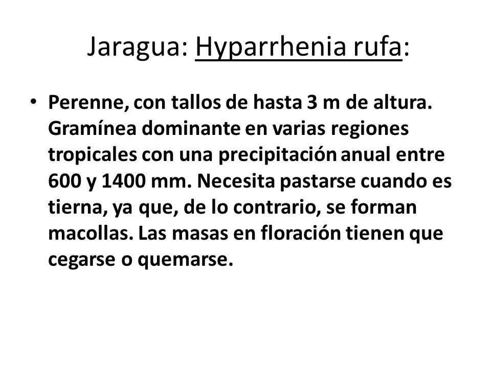 Jaragua: Hyparrhenia rufa: