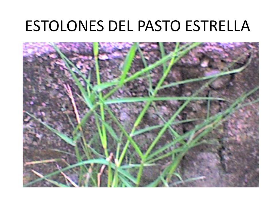 ESTOLONES DEL PASTO ESTRELLA