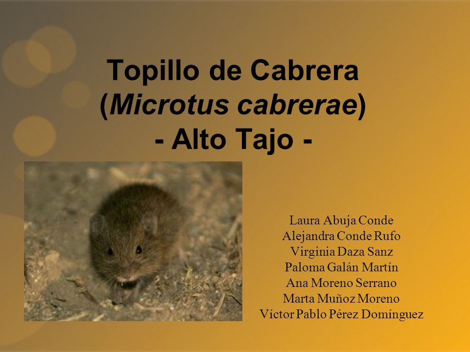 Topillo de Cabrera (Microtus cabrerae) - Alto Tajo -