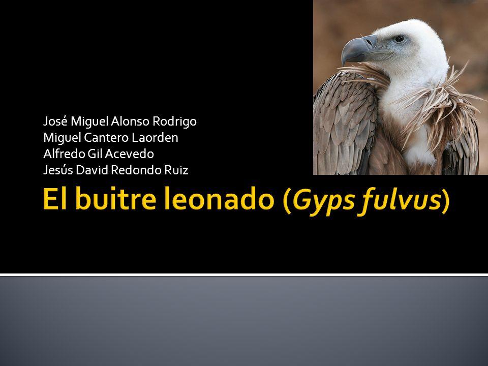 El buitre leonado (Gyps fulvus)