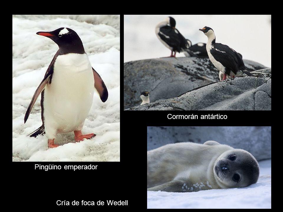 Cormorán antártico Pingüino emperador Cría de foca de Wedell