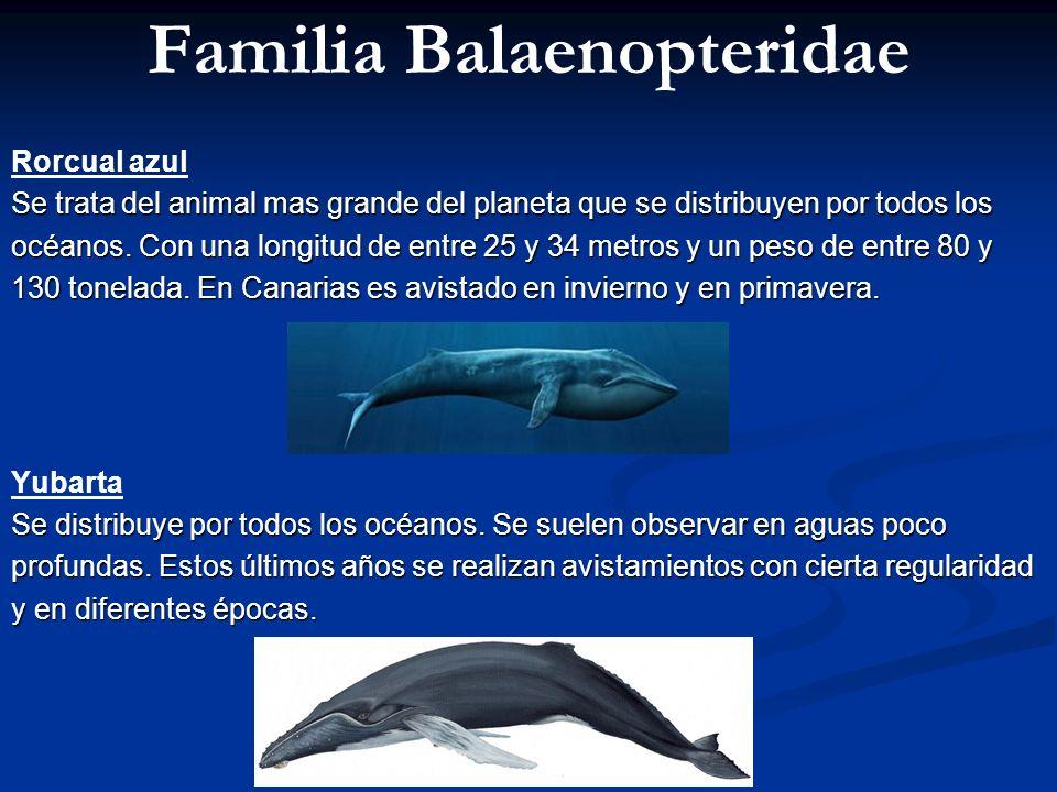 Familia Balaenopteridae