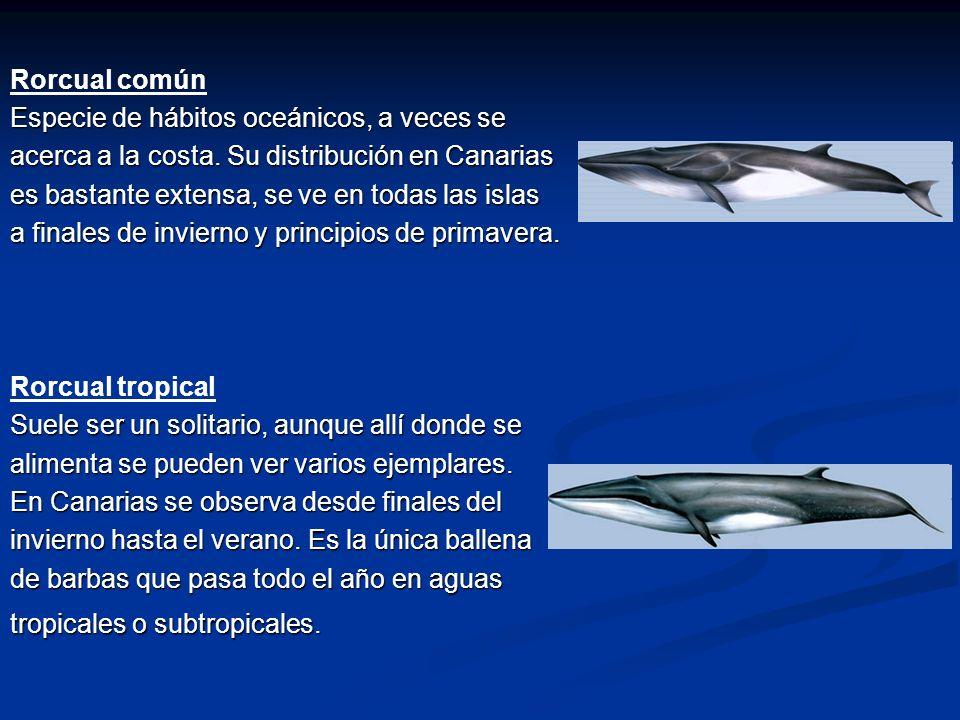 Rorcual común Especie de hábitos oceánicos, a veces se. acerca a la costa. Su distribución en Canarias.