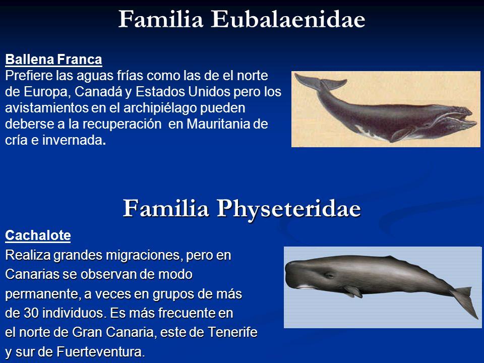 Familia Eubalaenidae Familia Physeteridae