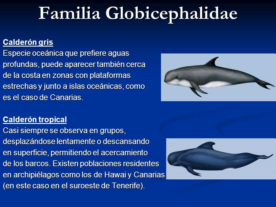 Familia Globicephalidae