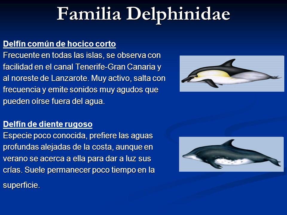 Familia Delphinidae Delfín común de hocico corto