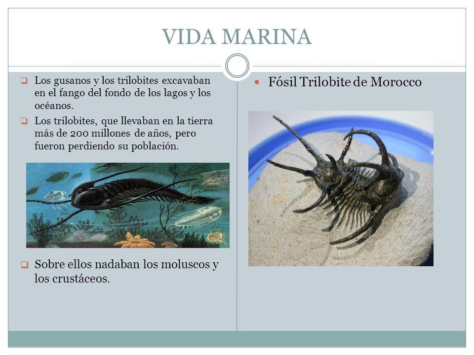 VIDA MARINA Fósil Trilobite de Morocco