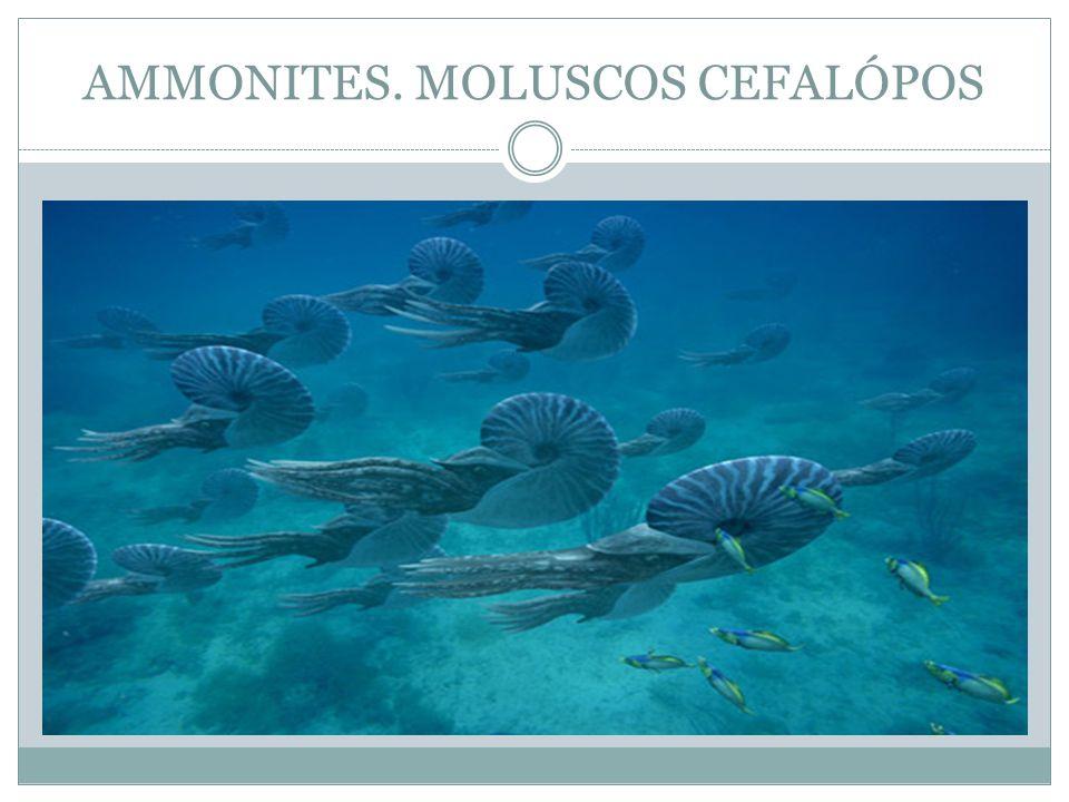 AMMONITES. MOLUSCOS CEFALÓPOS