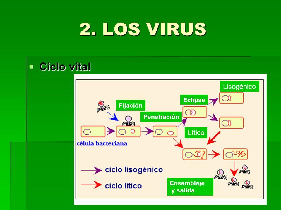 2. LOS VIRUS Ciclo vital Lisogénico Lítico Eclipse Fijación