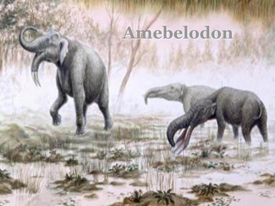 Amebelodon