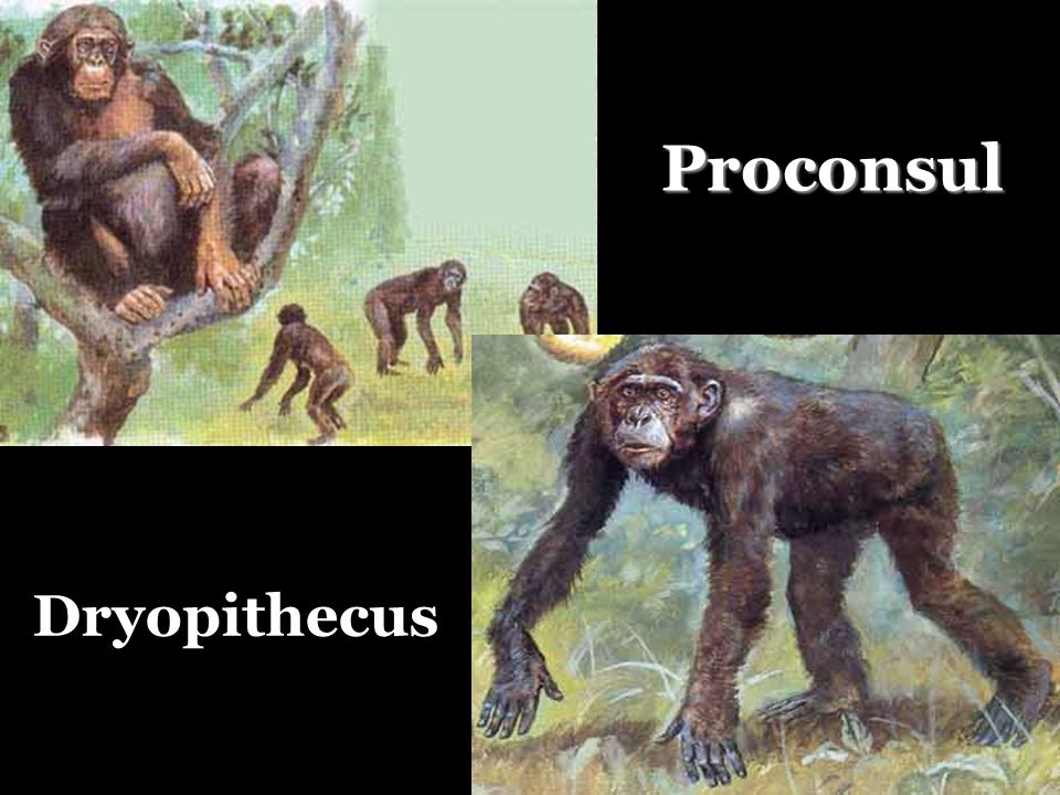 Proconsul Dryopithecus