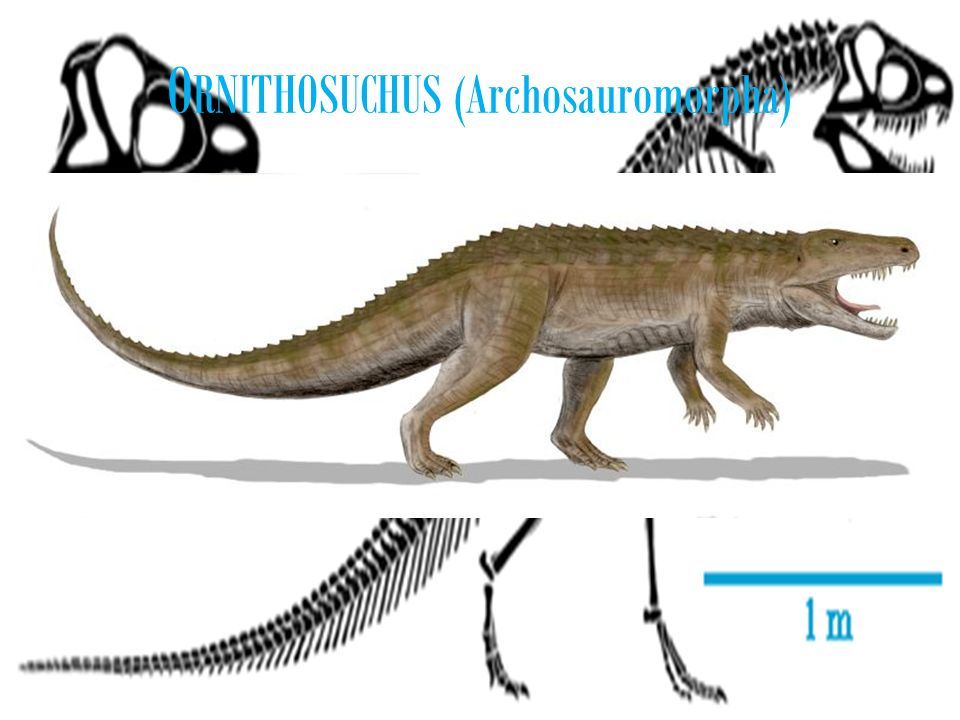 ORNITHOSUCHUS (Archosauromorpha)