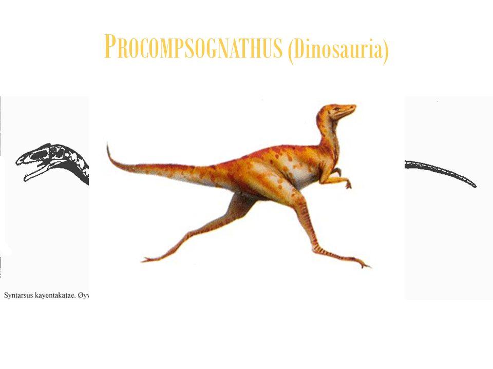 PROCOMPSOGNATHUS (Dinosauria)