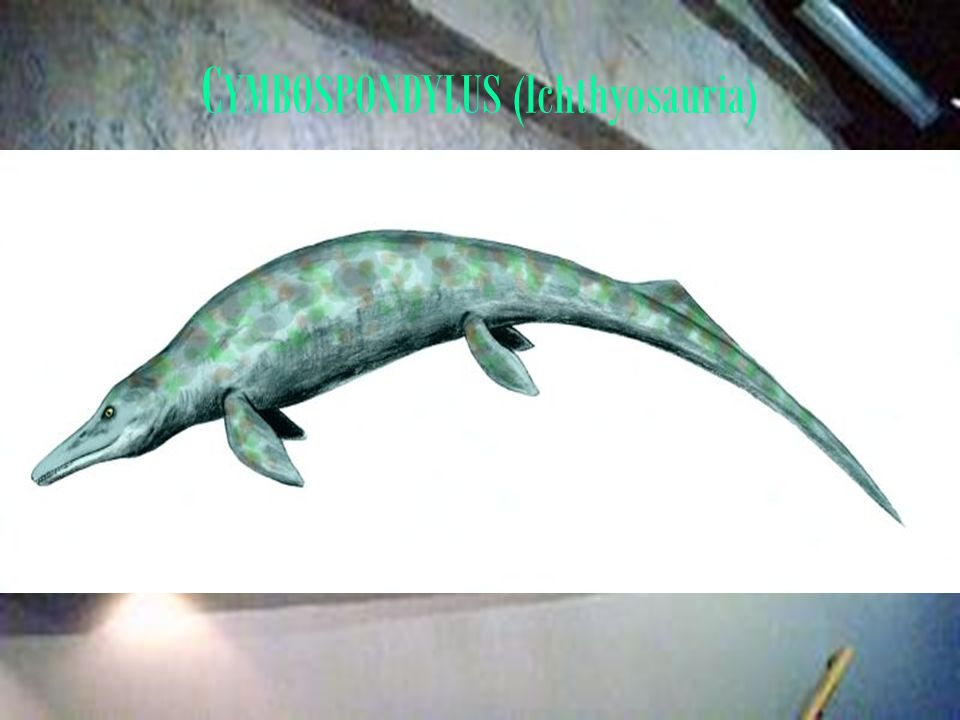 CYMBOSPONDYLUS (Ichthyosauria)