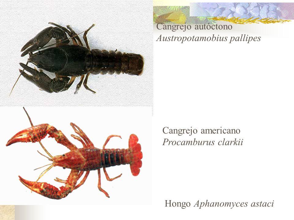 Austropotamobius pallipes