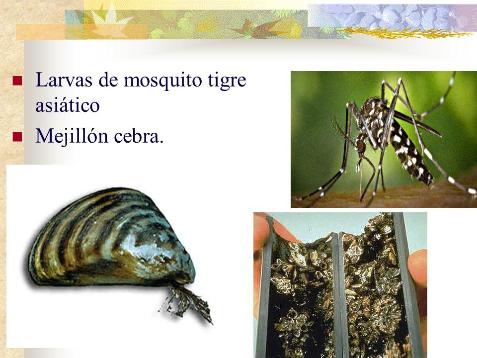 Larvas de mosquito tigre asiático Mejillón cebra.