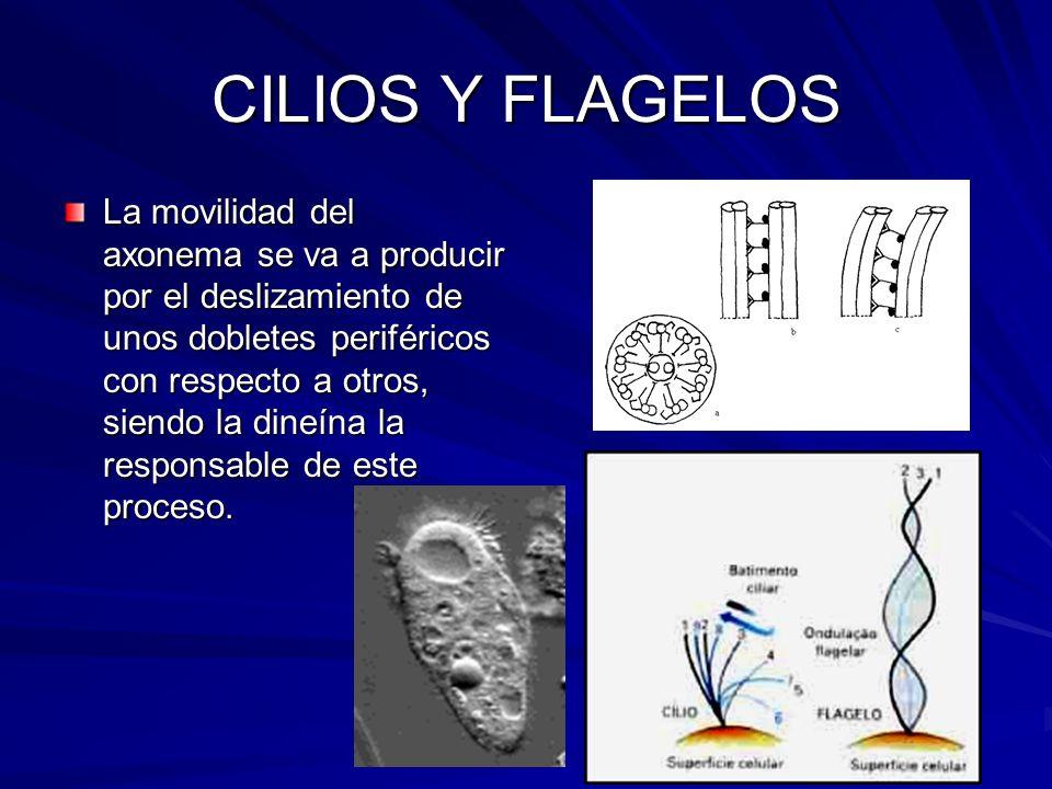 CILIOS Y FLAGELOS