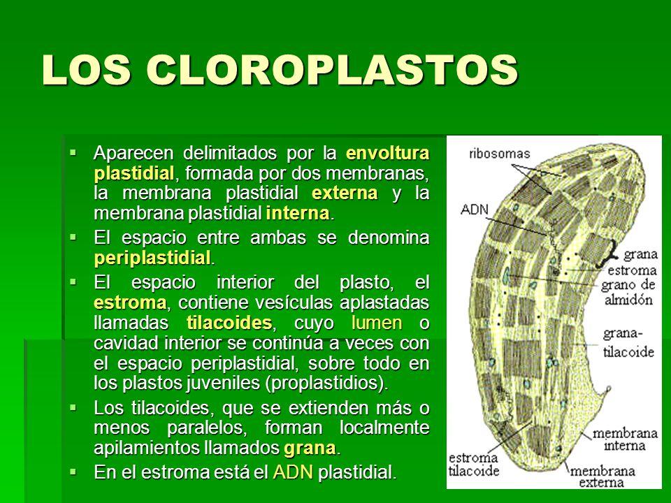 LOS CLOROPLASTOS