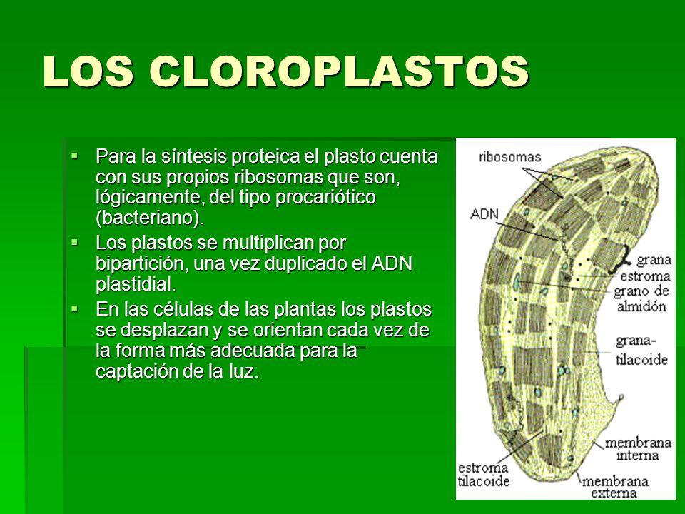 LOS CLOROPLASTOS Para la síntesis proteica el plasto cuenta con sus propios ribosomas que son, lógicamente, del tipo procariótico (bacteriano).