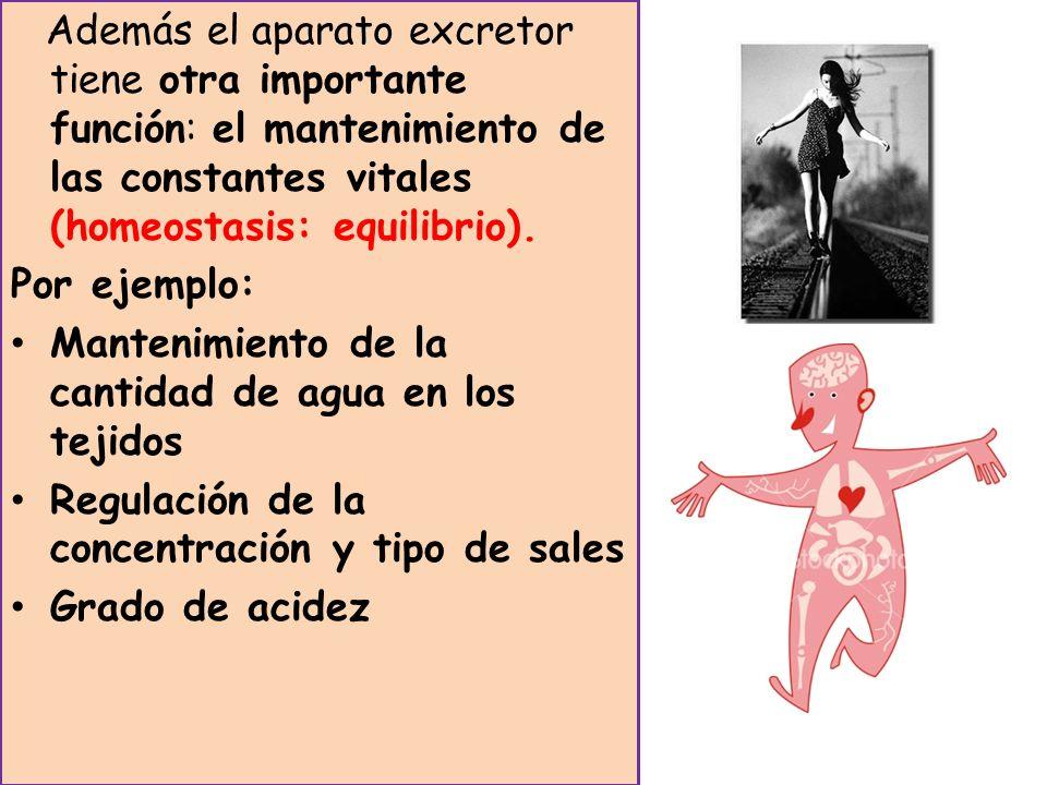 Además el aparato excretor tiene otra importante función: el mantenimiento de las constantes vitales (homeostasis: equilibrio).
