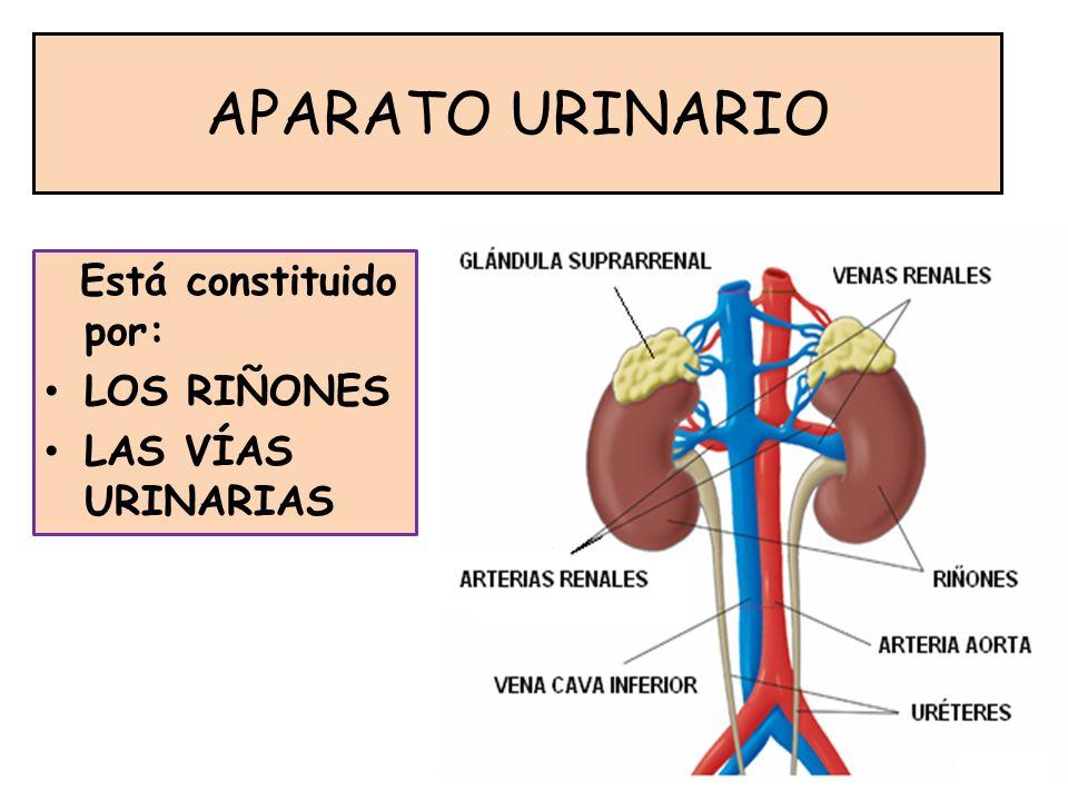 APARATO URINARIO Está constituido por: LOS RIÑONES LAS VÍAS URINARIAS
