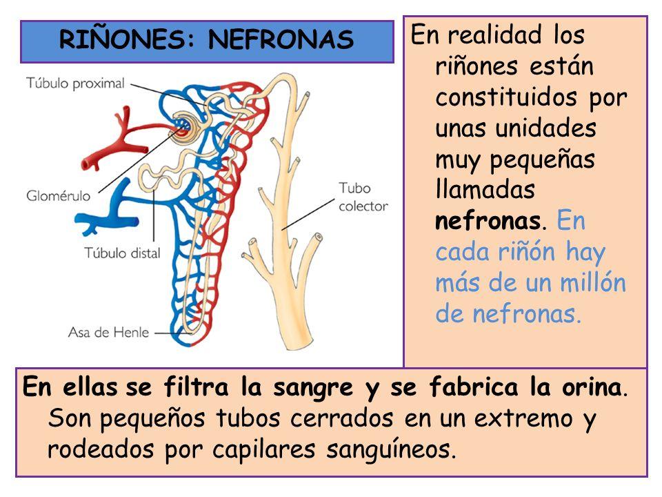 En realidad los riñones están constituidos por unas unidades muy pequeñas llamadas nefronas. En cada riñón hay más de un millón de nefronas.