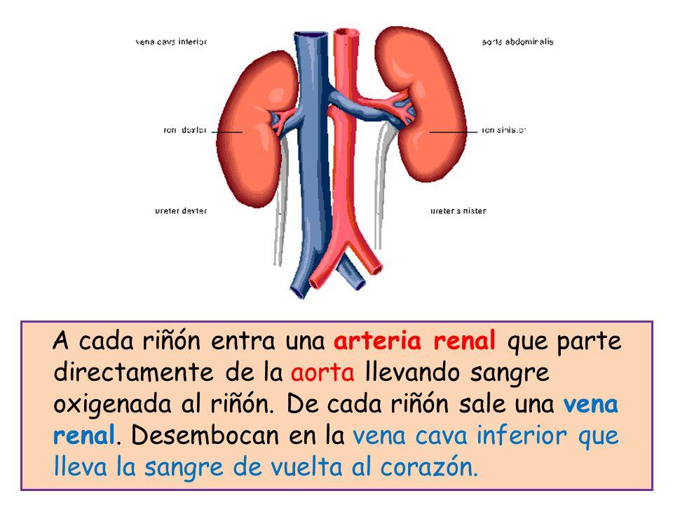 A cada riñón entra una arteria renal que parte directamente de la aorta llevando sangre oxigenada al riñón.