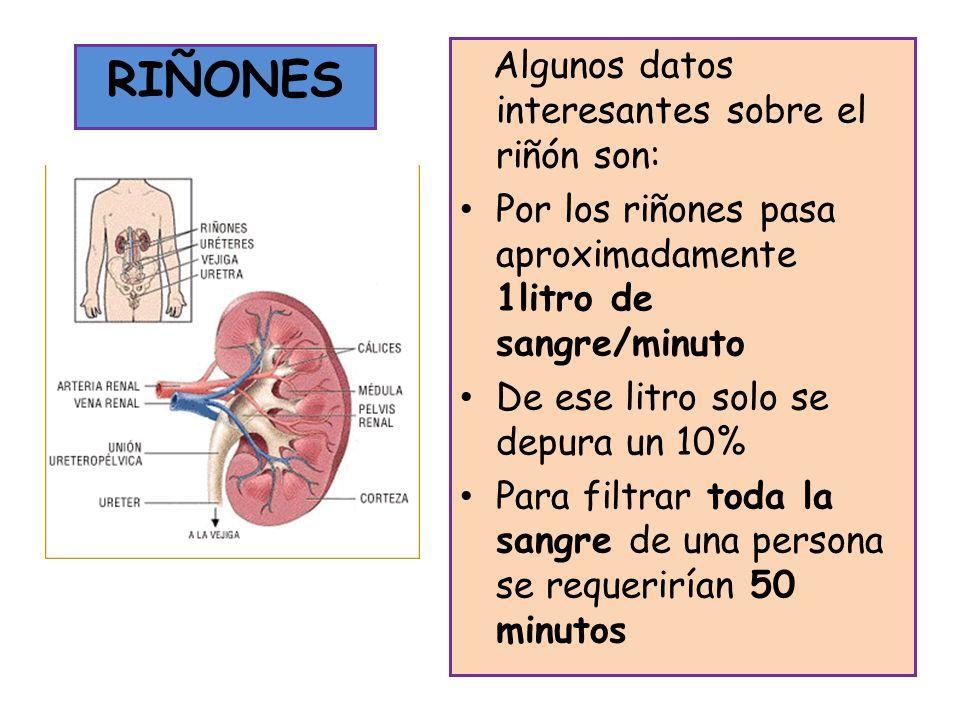 RIÑONES Algunos datos interesantes sobre el riñón son: