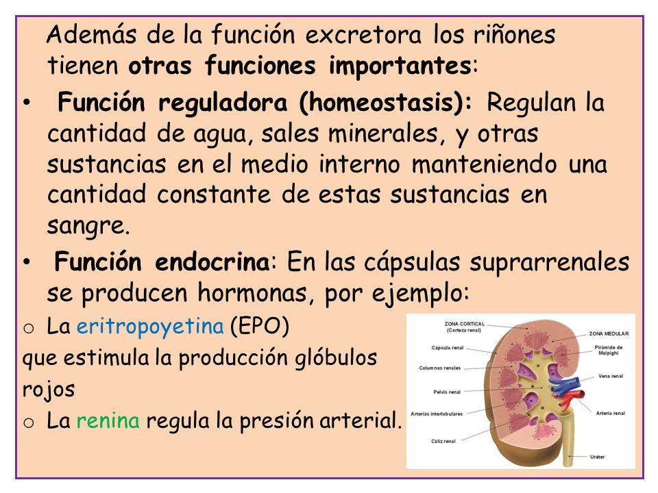 Además de la función excretora los riñones tienen otras funciones importantes: