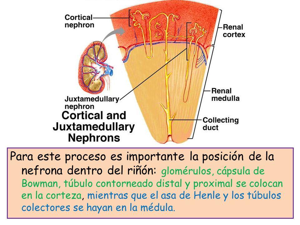 Para este proceso es importante la posición de la nefrona dentro del riñón: glomérulos, cápsula de Bowman, túbulo contorneado distal y proximal se colocan en la corteza, mientras que el asa de Henle y los túbulos colectores se hayan en la médula.