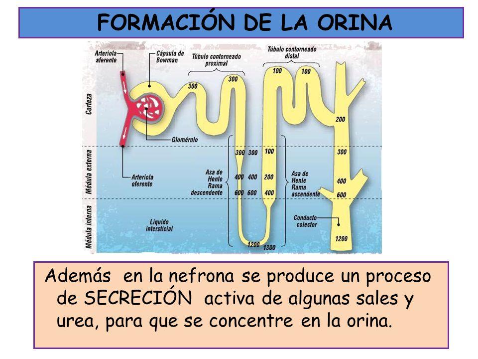 FORMACIÓN DE LA ORINA Además en la nefrona se produce un proceso de SECRECIÓN activa de algunas sales y urea, para que se concentre en la orina.