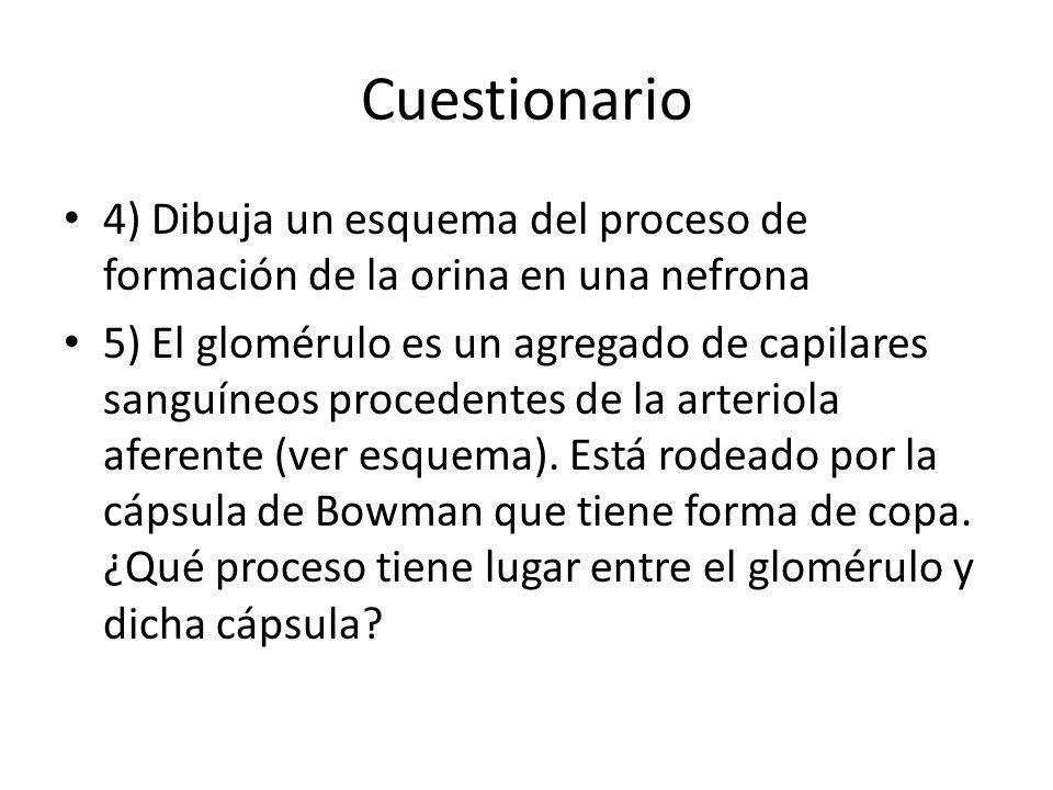 Cuestionario 4) Dibuja un esquema del proceso de formación de la orina en una nefrona.