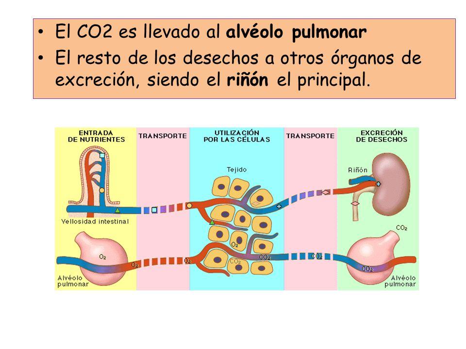 El CO2 es llevado al alvéolo pulmonar
