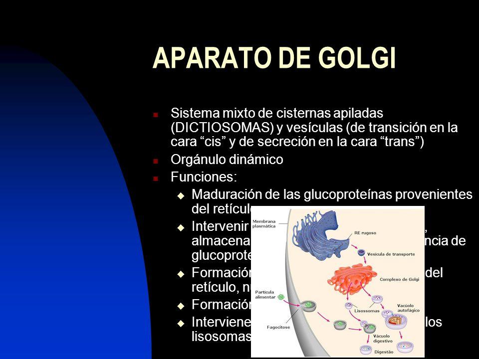 APARATO DE GOLGI Sistema mixto de cisternas apiladas (DICTIOSOMAS) y vesículas (de transición en la cara cis y de secreción en la cara trans )