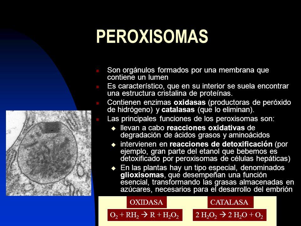 PEROXISOMAS Son orgánulos formados por una membrana que contiene un lumen.