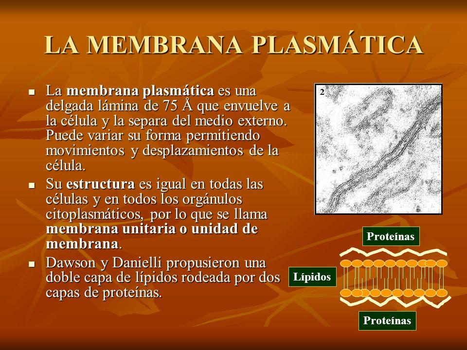 LA MEMBRANA PLASMÁTICA