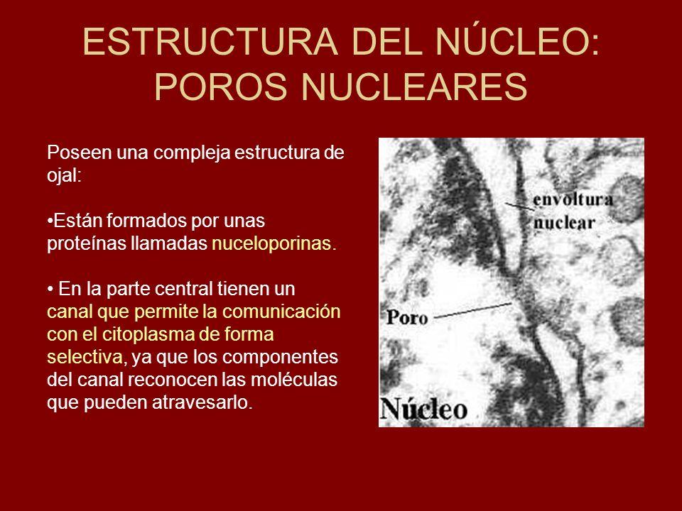 ESTRUCTURA DEL NÚCLEO: POROS NUCLEARES