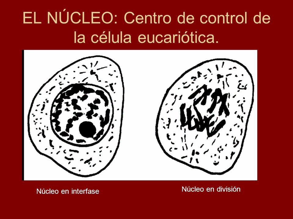 EL NÚCLEO: Centro de control de la célula eucariótica.