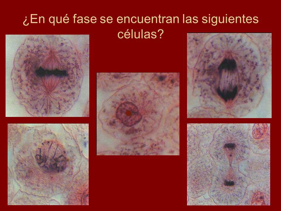 ¿En qué fase se encuentran las siguientes células